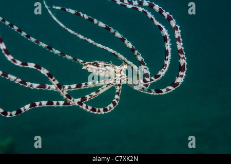 Mimic Octopus, Thaumoctopus mimicus, Lembeh strait, Sulawesi, Indonesia Foto Stock
