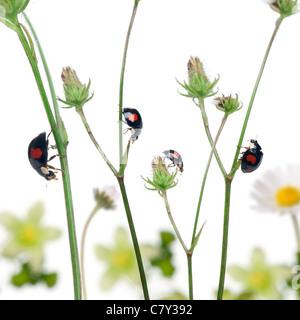 Asian lady coleotteri o coccinella giapponese o l'Arlecchino coccinella, Harmonia axyridis, su piante di fronte a uno sfondo bianco
