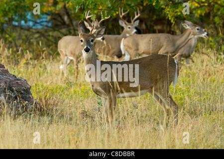 Culbianco buck e non nei boschi in Sud Dakota Foto Stock