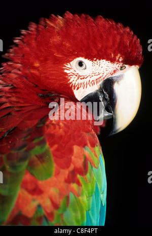 Itaparica, Bahia, Brasile. Il rosso e il blu macaw (Ara macao). Foto Stock
