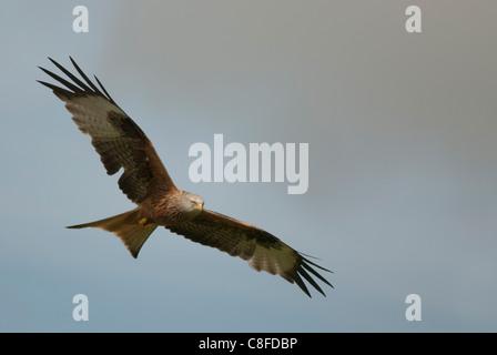 Nibbio reale in volo sopra Gigrin Farm nel Galles Foto Stock