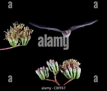 Minore a becco lungo (bat Leptonycteris yerbabuenae) volare da agave fiorisce in cattività, Hidalgo County, Nuovo Messico, STATI UNITI D'AMERICA Foto Stock