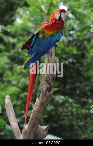 Il Brasile, Arara macao, Ara, Parrot, luminose e colori Foto Stock