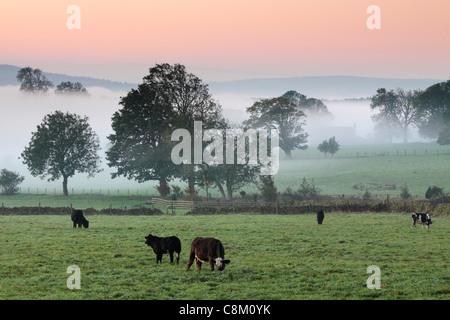 Il pascolo di bestiame in autunno misty campi nei pressi Fewston in Yoorkshire, Inghilterra Foto Stock