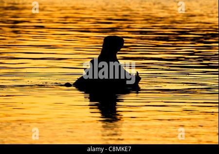 Silhouette di un ippopotamo sbadigli nel golden luce della sera Foto Stock