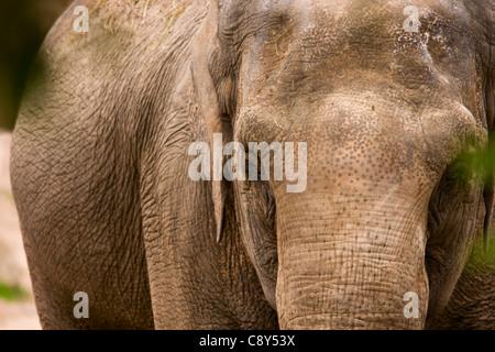 Elefante asiatico Foto Stock