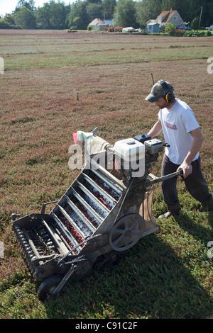 L'uomo operando una raccolta di mirtillo palustre di macchina. Foto Stock