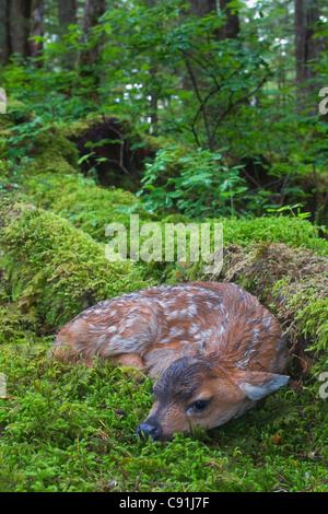 Nero-Tailed Deer Fawn giacente in moss contemplati nella foresta pluviale, Montague Island, Prince William Sound, Foto Stock