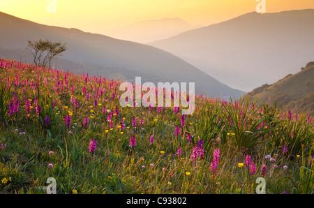 L'Italia, l'Umbria, Forca Canapine. Rosa orchidee crescere alla forca Canapine, Parco Nazionale dei Monti Sibillini, Foto Stock