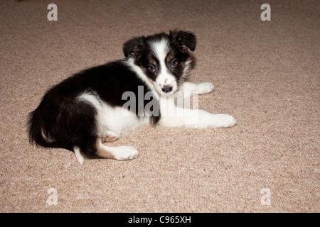 Border Collie cucciolo di 8 settimane di età Foto Stock