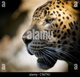 Ritratto di un leopard con illuminazione drammatica nell'occhio. Foto Stock