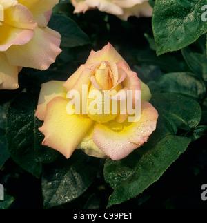 Perfetto fiore rosa 'pace' con goccioline di umidità Foto Stock