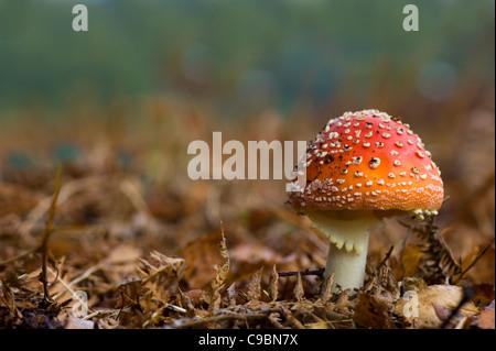 Amanita muscaria, comunemente noto come il fly agaric o fly Amanita Foto Stock