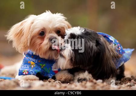 Un cucciolo Shih-Tzu dà la lettiera mate un bacio. Foto Stock
