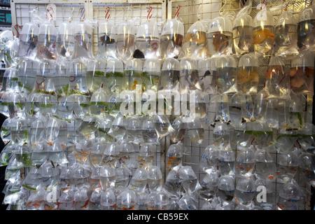 Pesce tropicale in vendita in singoli sacchetti di plastica al goldfish Goldfish Market street Mong Kok distretto Foto Stock