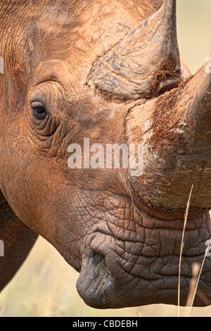 Rinoceronte bianco (Ceratotherium simum) square a labbro ritratto di rinoceronte di corno e occhio Madikwe Game Foto Stock