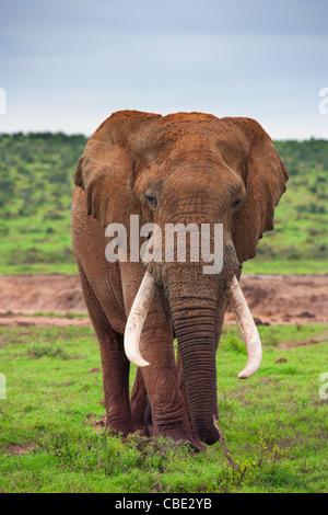 Un grande elefante Bull ( Loxodonta africana ) catturato in Hapoor Dam in Addo Elephant National Park in Sud Africa. Foto Stock