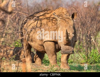 Rinoceronte bianco (Ceratotherium simum) square a labbro madre di rinoceronte con vitello nella boccola Madikwe Foto Stock