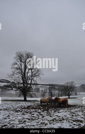 Due mucche highland in un campo di Perthshire mangia fieno. Formato verticale con un unico albero nella metà di Foto Stock