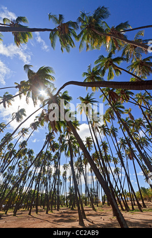 'Royal Grove' di alberi di cocco piantati da Hawaiian re Kamehameha V nel 1868. Molokai, Hawaii, Stati Uniti d'America. Foto Stock