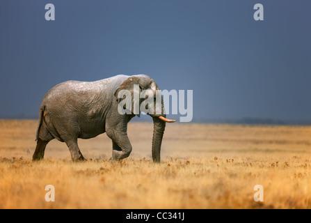 Elephant bull camminando in open grassfield; Loxodonta africana; Etosha Foto Stock