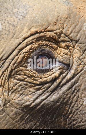 Close up di elefante indiano occhio, Pinnawala, Sri Lanka Foto Stock