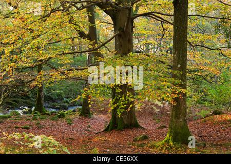 Alberi con bei colori autunnali in legno Strutta, Lake District, Cumbria, Inghilterra. In autunno (Novembre) 2011 Foto Stock