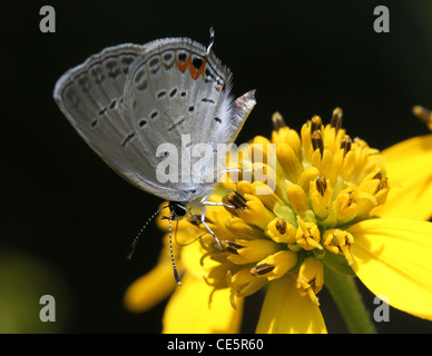 Eastern tailed blue butterfly alimentazione fiore wingstem