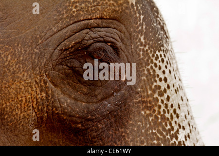 Close up di un elefante indiano's eye, a Jaipur, India Foto Stock