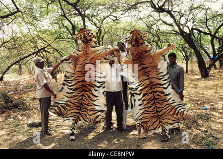 Pelle di tigre grippata da bracconieri ; Panthera Tigris ; india ; asia