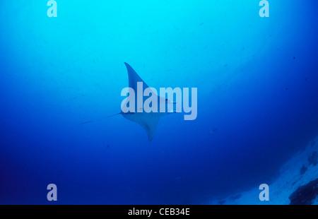 Giant Manta ray sott'acqua nel canale in tedesco, Palau, Stati Federati di Micronesia Foto Stock
