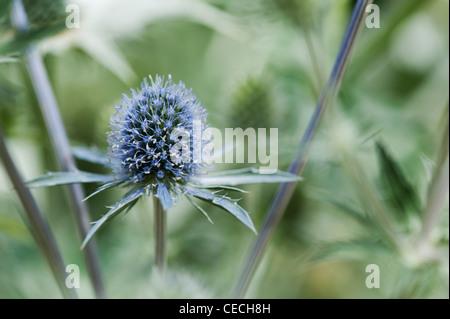 "Eryngium x zabelii ""Jos Eijking'. Mare holly fiore"