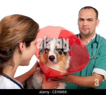 I veterinari mettere un collare di spazio su un pastore australiano di fronte a uno sfondo bianco Foto Stock