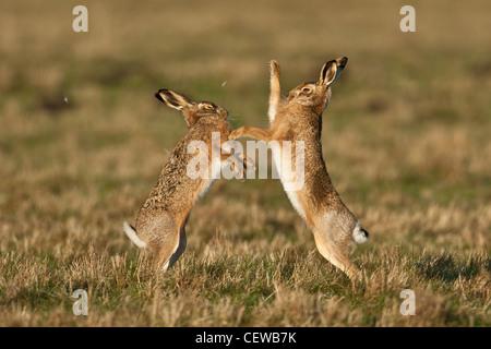 Coppia di Brown lepre (Lepus europaeus) boxing con pelo battenti, Norfolk, Inghilterra Foto Stock