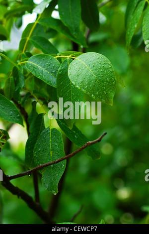Le gocce di pioggia sulle foglie verdi di una foresta Foto Stock