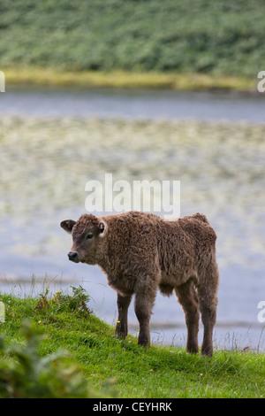 Un vitello piedi dal bordo dell'acqua; a ardnamurchan argyl Scozia Scotland Foto Stock