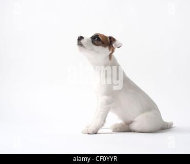 Jack Russell cucciolo cercando Foto Stock