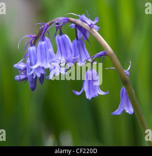 Comune, Bluebell Hyacinthoides ( ) un fiore azzurro visto in primavera, qui a Lymm, Cheshire, Regno Unito Foto Stock