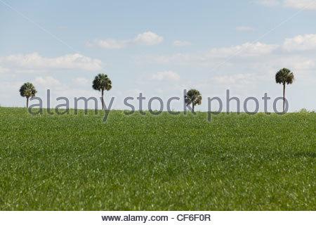 Gli alberi di palma, Central Florida Foto Stock