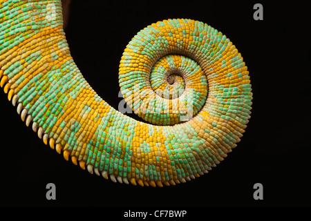 La coda di una Yemen (velata) camaleonte, chamaeleo calyptratus. Foto Stock