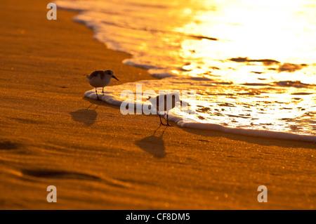 Sanderlings-'Hunakai' in lingua hawaiana (Calidris alba), Spiaggia di Polihale, Kauai, Hawaii Foto Stock