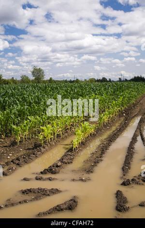 Campo di mais allagata con eccesso di acqua di pioggia a causa degli effetti del cambiamento climatico, Laval, Quebec, Foto Stock