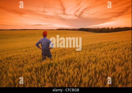 Un uomo si affaccia su di un campo di grano di stagionatura, vicino Treherne, Manitoba, Canada Foto Stock