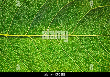 Foglia verde texture in sunshine, macro Foto Stock