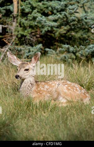 Mule Deer Odocoileus hemionus fawn posa di erba Foto Stock