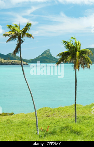 Endemico Kentia palms, Mare di Tasman, Isola di Lord Howe, Nuovo Galles del Sud, Australia Foto Stock