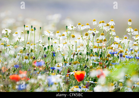 Abbondanza di fioritura fiori selvatici sul prato di primavera Foto Stock