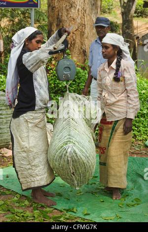 La piantagione di donne tamil del peso di Uva pregiati tè in Namunukula montagne vicino Ella, Highlands Centrali, Foto Stock
