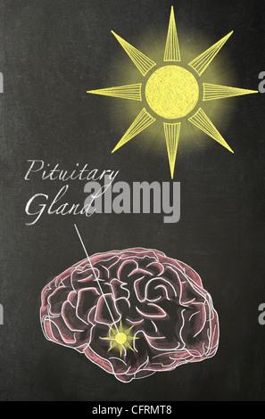 Illustrazione in gesso di un cervello umano con un sole al di sopra di essa e una freccia che punta verso la ghiandola Foto Stock