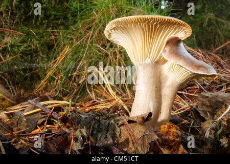 Funghi crescente tra figliata di foglia su un pavimento di bosco nel Peak District, Derbysshire Foto Stock